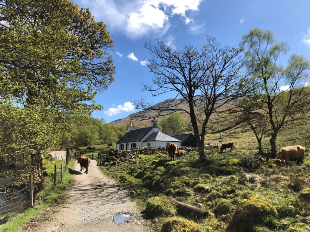 West Highland Way - Rinder kreuzen den Weg